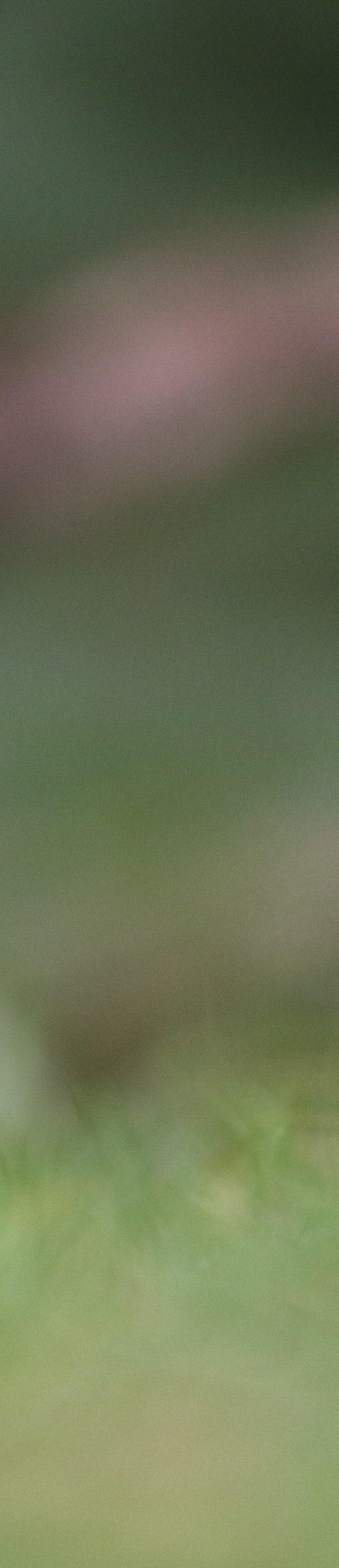 Groenling (chloris chloris)