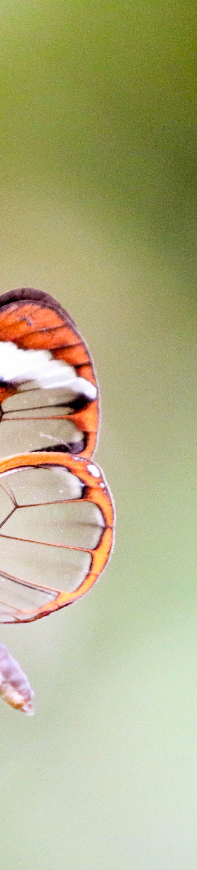 Glasswing (greta oto)