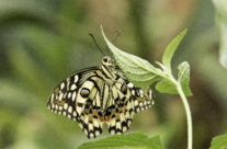 Pages (papilionidae)
