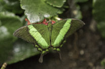 Emerald koninginnepage (papilio palinarus)