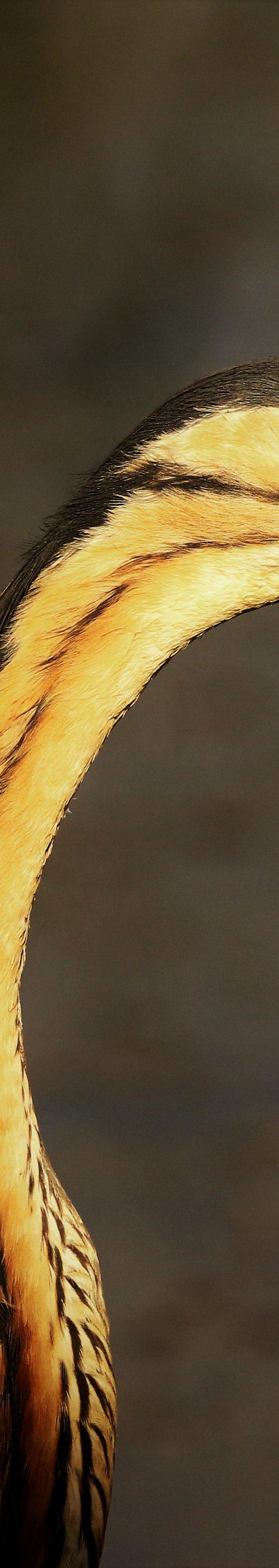 Purper reiger (ardea purpurea)