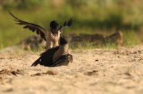 Bonte kraai ((corvus cornix)