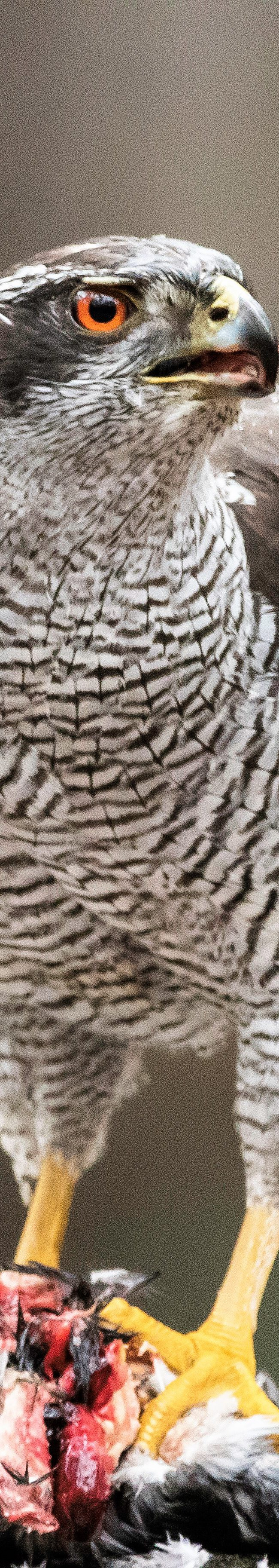 Havik (accipiter gentilis)