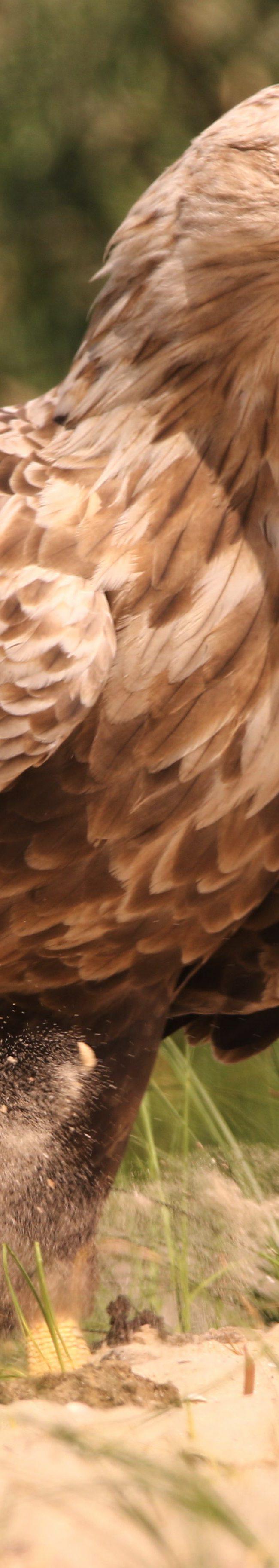 Zeearend (haliaeetus albicilla)