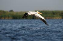 Roze pelikaan (pelecanus onocrotalus)