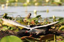 Stelende bonte kraai (corvus cornix)