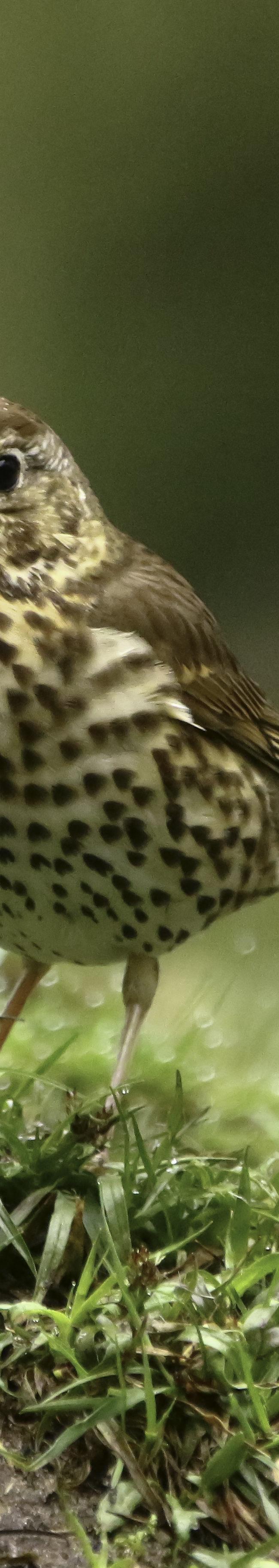 Zanglijster (turdus philomelos)