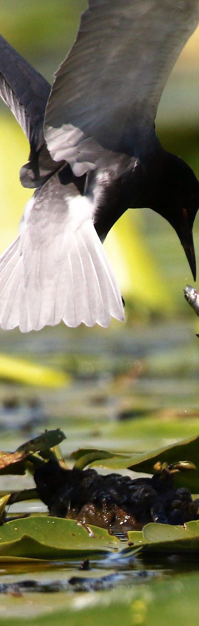 Zwarte stern (chlidonias niger)