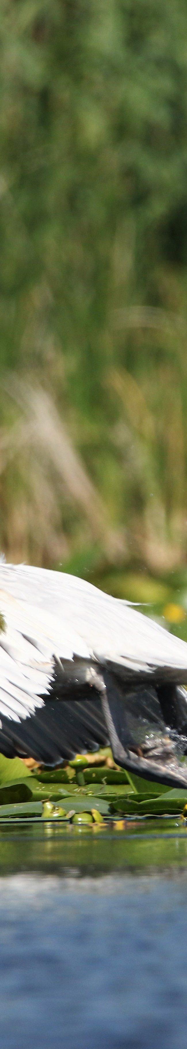 Kroeskop pelikaan (pelecanus crispus)