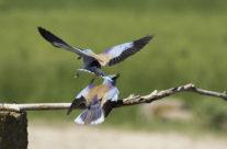 Scharrelaar (coracias garrulus)