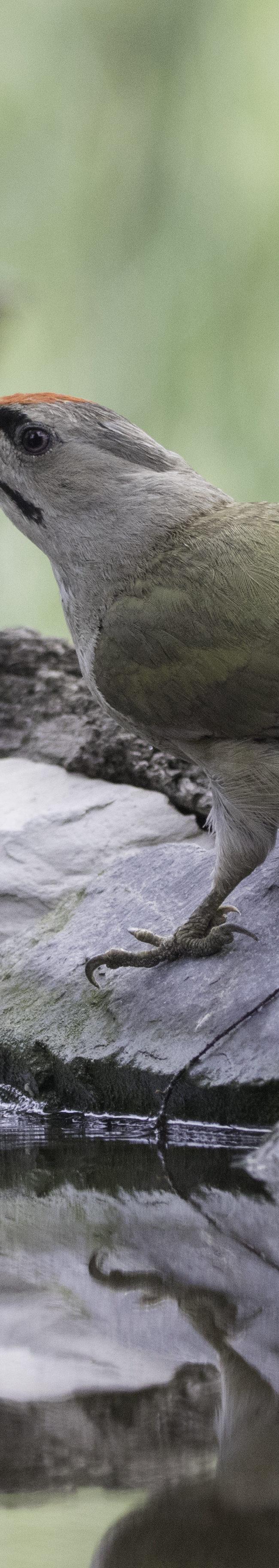 Grijskopspecht (picus canus)