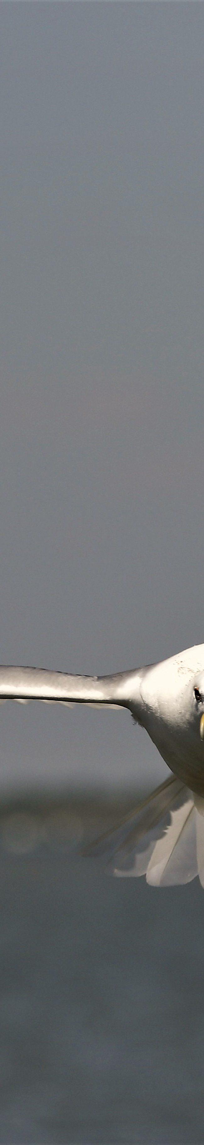 Pontische meeuw (larus cachinnans)