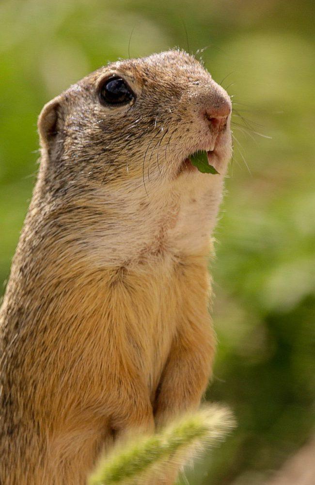 Grondeekhoorn (marmotini)
