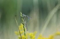 Waterjuffer (coenagrionidae)