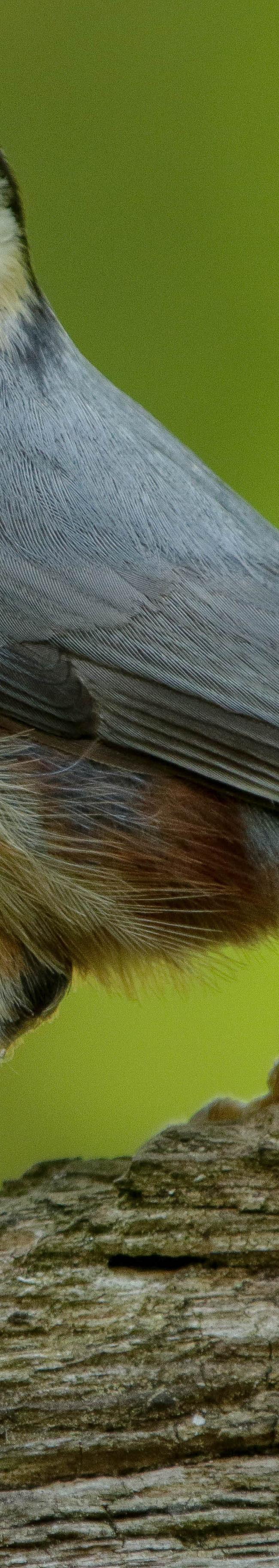 Boomklever (Sitta europaea)