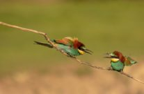 Bijeneter (merops apiaster)