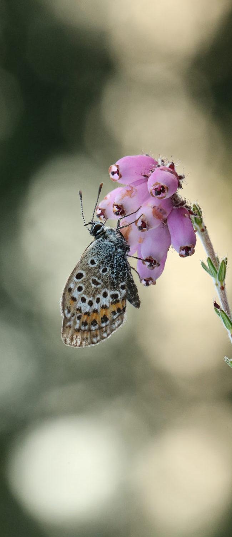 Heideblauwtje (plebejus argus)