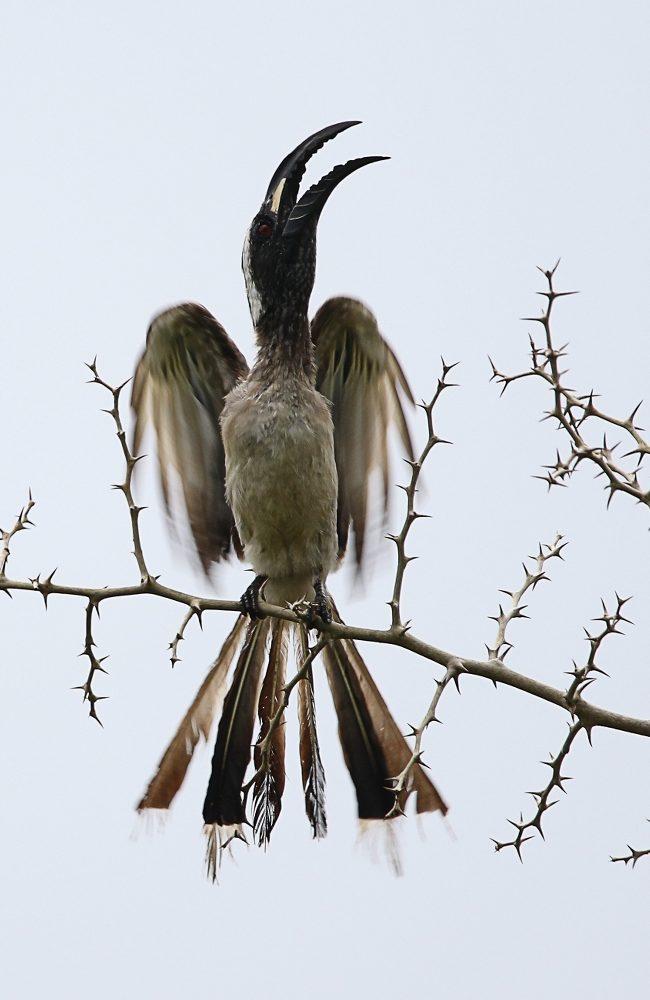 Grijze Tok / African Grey Hornbill (Tockus nasutus)