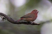 Vuurvinkje / Red-billed Firefinch (Lagonosticta senegala)
