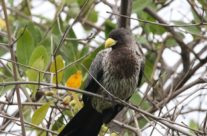 Grijze bananeneter / Western Plantain-Eater (Corythaixoides piscator)