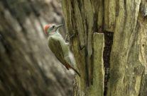 Grijsgroenspecht / Gray Woodpecker (Mesopicos goertae)