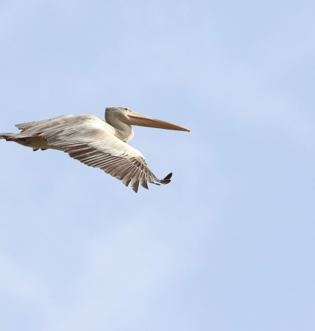 Kleine pelikaan / Little pelican (Pelecanus rufescens)