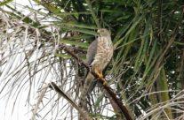 Kleine roofvogel /  Shikra (Accipiter badius)