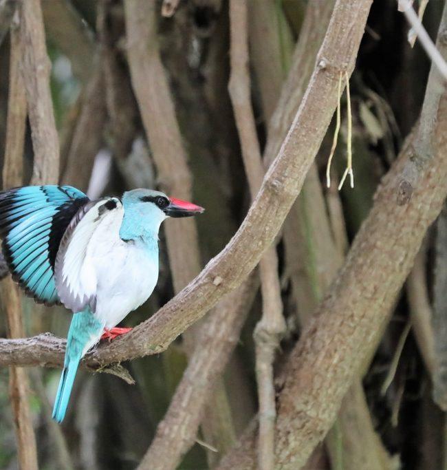 Teugelijsvogel / Blue-breasted kingfisher (Halcyon malimbica)