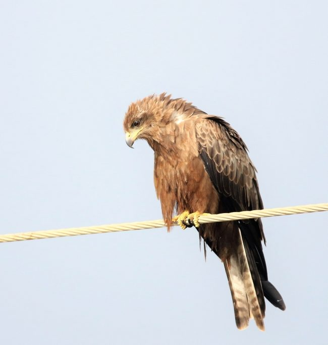 Zwarte wouw / Black Kite (Milvus migrans)