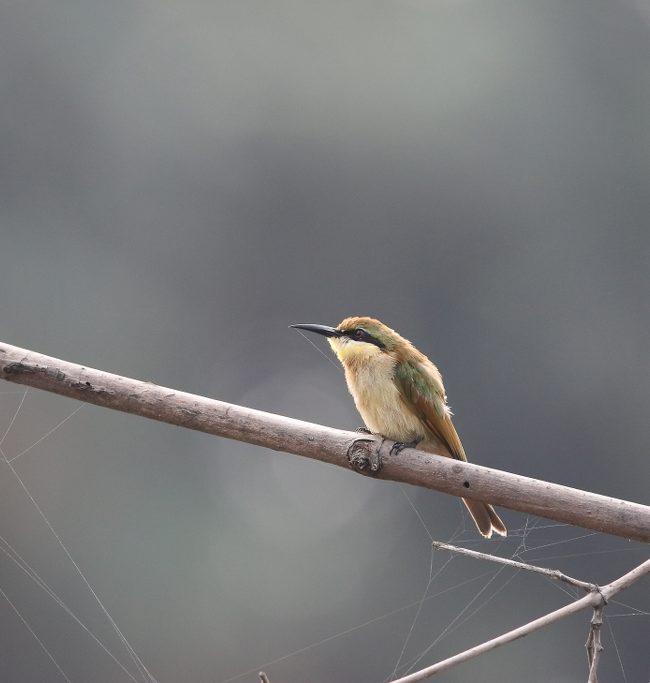 Dwergbijeneter / Little bee-eater (Merops pusillus)