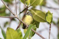 Geelvoorhoofdketellapper / Yellow-fronted tinkerbird (Pogoniulus chrysoconus)