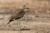 Senegalgriel / Senegal Thick-knee (Burhinus senegalensisSenegal)