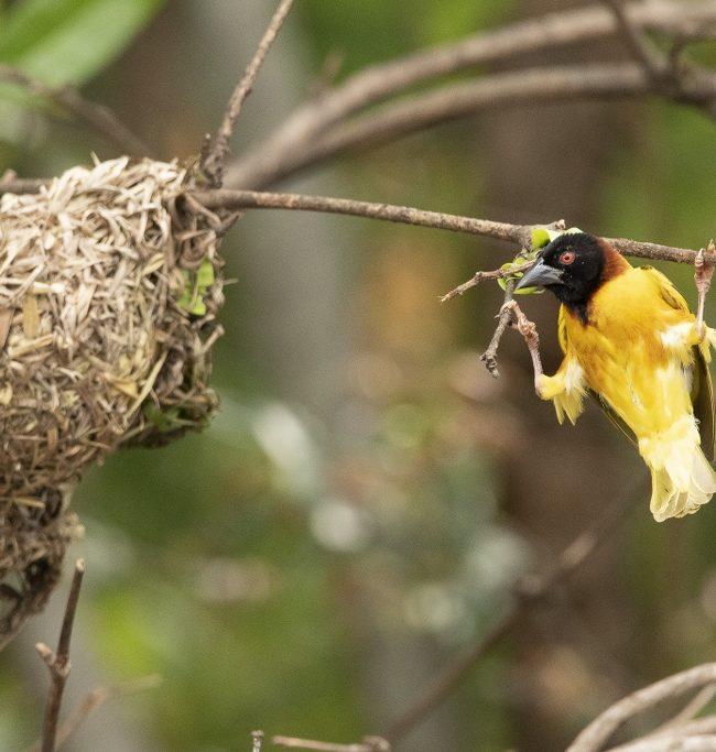 Dwergmasker wever / Vitelline masked weaver (Ploceus vitellinus)