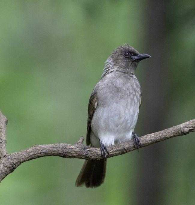 Grauwe buulbuul / Common Bulbul ((Pycnonotus barbatus)