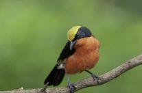 Goudkapfiscaal / Yellow-crowned Gonolek (Laniarius barbarus)