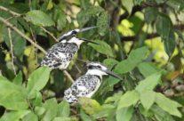 Bonte ijsvogel / Pied kingfisher (Ceryle rudis)