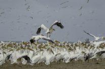 Grote witte pelikaan /Great white Pelican (Pelecanus erythrorhynchos)