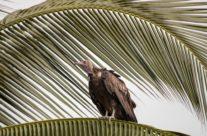 Kapgier / Hooded Vulture (Necrosyrtes Monachus )