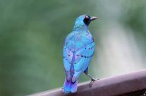 Blauwoor glansspreeuw / Lesser blue-eared glossy starling (Lamprotornis chloropterus)