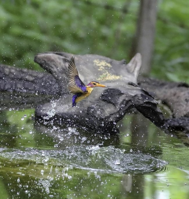 Afrikaanse Dwergijsvogel / African pygmy kingfisher (Ispidina picta)