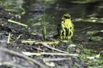 Zwartnekwever / Black-necked weaver (Ploceus nigricollis)