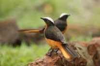 Schubkaplawaaimaker /  White-crowned Robin-chat (Cossypha albicapilla)
