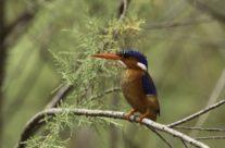 Malachietijsvogel / malachite kingfisher (Corythornis cristatus)