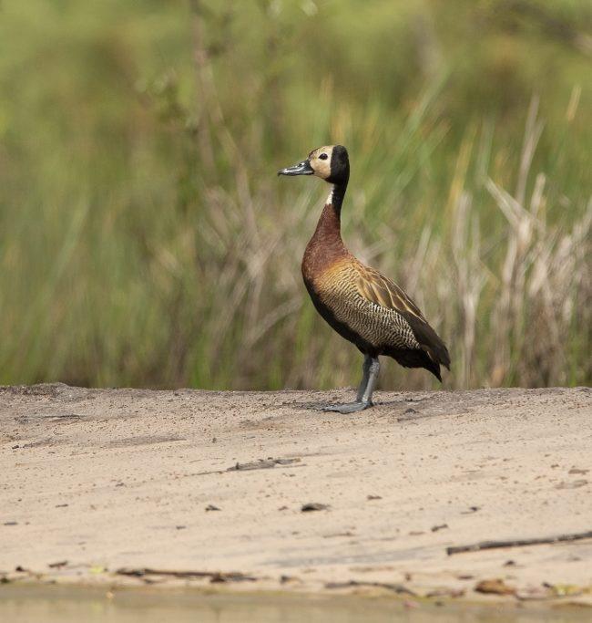 Witwangfluiteend / White faced whistling duck (Dendrocygna viduata)