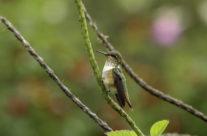 Vulkaankolibrie / Volcano Hummingbird (Selasphorus flammula)