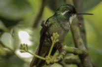 Grijsstaartjuweelkolibrie / Grey-tailed Mountaingem (Lampornis castaneoventris cinereicauda)