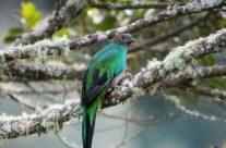 Quetzal (Pharomachrus mocinno) Female