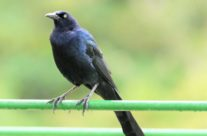 Langstaarttroepiaal / Grey-tailed Grackle (Quiscalus mexicanus) Male