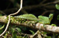 Helmbasiliek / Plumed basilisk (Basiliscus plumifrons)