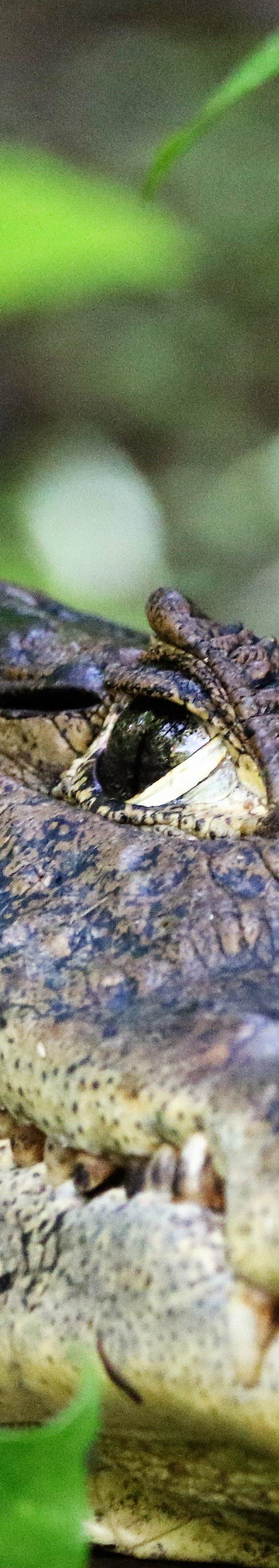 Krokodil / Crocodile (Crocodylidae)